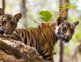 Violation of jungle rules continues in Pench